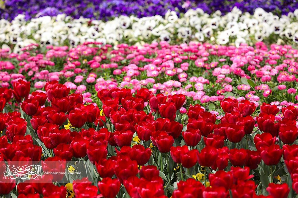 امسال با ۱۳۷۰۰۰۰۰ گل بهار میشود